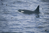 Orca Whale and Sea Birds Photographic Print by  DLILLC