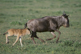 Blue Wildebeest with Her Calf Photographic Print by  DLILLC
