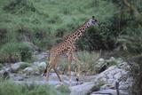 Giraffe Crossing a Stream Photographic Print by  DLILLC
