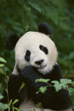 Giant Panda in the Forest Reproduction photographique par  DLILLC