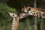 Mother and Baby Giraffe Photographic Print by  DLILLC