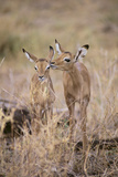 Young Impala Friends Nuzzling Photographic Print by  DLILLC