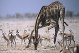 Giraffe Bending Over Photographic Print by  DLILLC