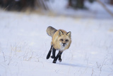 Red Fox Running Photographic Print by  DLILLC