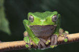 Monkey Tree Frog Perched on a Branch Photographic Print by  DLILLC