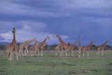 Giraffes Gathered on the Savanna Photographic Print by  DLILLC