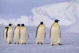 Emperor Penguins Reprodukcja zdjęcia autor DLILLC