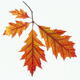 Red Oak Leaf Photographic Print by  DLILLC