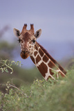 Giraffe Peeking over Top of Foliage Photographic Print by  DLILLC