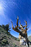 Bristlecone Pine Reproduction photographique par  DLILLC
