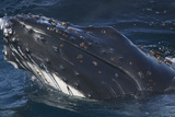 Barnacle Covered Mouth of Humpback Whale Photographic Print by  DLILLC