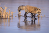 Red Fox on a Frozen Pond Photographic Print by  DLILLC