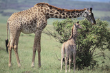 Giraffe and Young Eating a Bush Photographic Print by  DLILLC