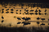 Sandhill Cranes in Lake at Dawn Photographic Print by  DLILLC