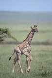 Young Giraffe Running in the Grass Photographic Print by  DLILLC