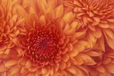Chrysanthemum Photographic Print by  DLILLC