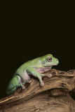 Green Tree Frog Photographic Print by  DLILLC