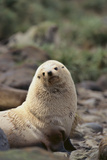 South American Fur Seal Photographic Print by  DLILLC