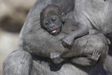 Baby Gorilla Cradling in Mother's Arms Photographic Print by  DLILLC