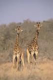 Two Giraffes Standing in the Bush Photographic Print by  DLILLC