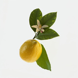Lemon and Blossom Photographic Print by  DLILLC