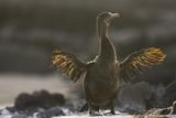 Flightless Cormorant Photographic Print by  DLILLC