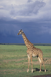 Giraffe on the Savanna Photographic Print by  DLILLC