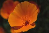 California Poppy Photographic Print by  DLILLC