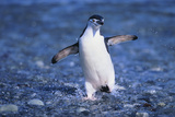 Chinstrap Penguin Photographic Print by  DLILLC
