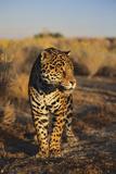 Jaguar Photographic Print by  DLILLC
