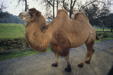 Bactrian Camel Photographic Print by  DLILLC