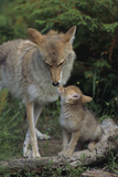 Coyote and Her Pup Photographic Print by  DLILLC