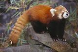 Lesser Panda Lámina fotográfica por  DLILLC