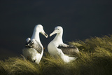 Southern Royal Albatross Photographic Print by  DLILLC