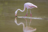 American Flamingo Photographic Print by  DLILLC