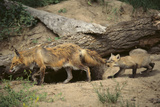 Red Fox Cub Pulling Mother's Tail Photographic Print by  DLILLC