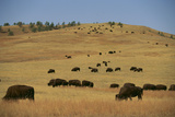 Buffalo Grazing on the Prairie Photographic Print by  DLILLC