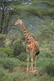 Giraffe Protecting Her Young from Predation Fotografisk tryk af  DLILLC