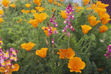Poppies and Toadflax Photographic Print by  DLILLC