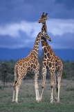 Giraffe Couple Photographic Print by  DLILLC