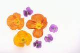 Pansy and Poppy Flowers Photographic Print by  DLILLC