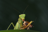 African Praying Mantis Eating a Bug Photographic Print by  DLILLC