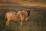 Blue Wildebeest Photographic Print by  DLILLC