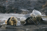 Galapagos Sea Lions Itching their Heads Photographic Print by  DLILLC