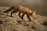 Red Fox Photographic Print by  DLILLC