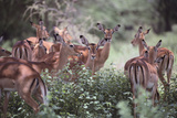 Female Impalas Grouped in the Shade Photographic Print by  DLILLC