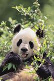 Giant Panda Photographic Print by  DLILLC