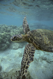 Green Sea Turtle Swimming Photographic Print by  DLILLC