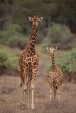 Two Giraffes Walking through the Bush Photographic Print by  DLILLC