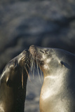 Galapagos Sea Lions in Love Photographic Print by  DLILLC